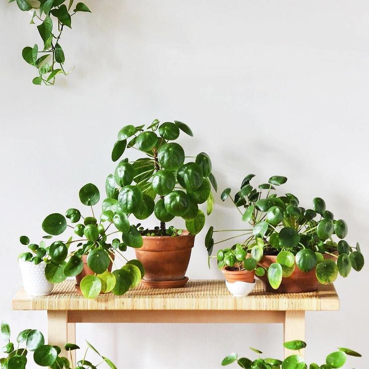 "Pilea are a family affair over at @studioplants' space. Since the original post has a ton of great care info we couldn't help wanting to share! For those unfamiliar this is Pilea peperomioides the insta-famous ""Chinese Money Plant"" aka ""Pancake Plant."" Happy to have this one in stock! We post a new photo from #InteriorRewilding each week. Tag your indoor green oasis for a chance to be featured."