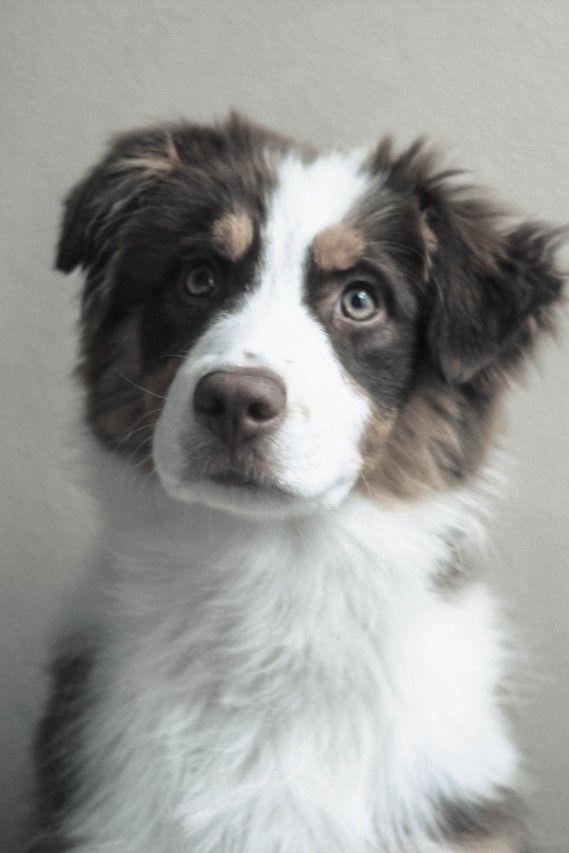 Pin By Vicki A Martinelli On Australian Shepherd Dogs Aussie