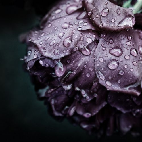 Look how the droplets of rain dance upon this magnificent lavender rose.