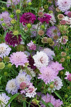 Scabiosa atropurpurea 'Tall Double Mix' | cottage gardens | Pinterest | Garden, Plants and Flowers