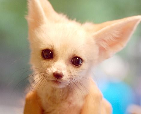 When I no longer have dogs, I WILL have a Fennec Fox. His name will be Todd. (Like in the Fox and the Hound)