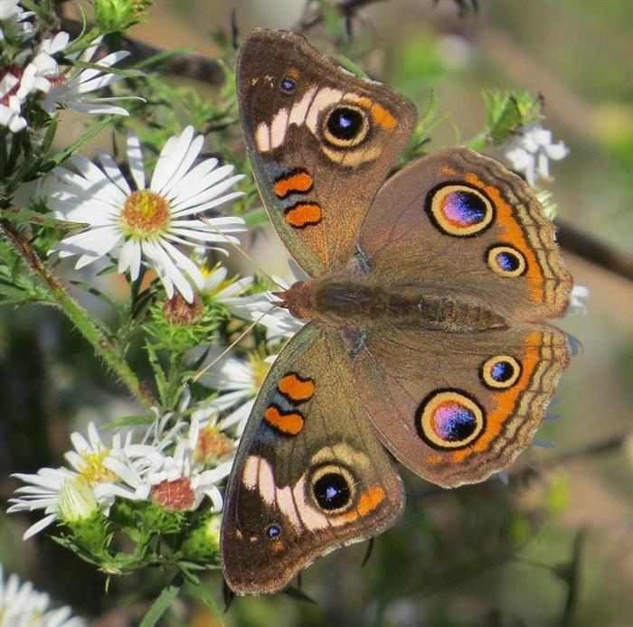 Mariposas  La Junona Coenia se encuentra en la zona sur de Manitoba, Ontario, Quebec, Nueva Escocia, y todas partes de Estados Unidos, excepto la región noreste. Este espécimen es muy común en el sur, en la costa de California, y en la zona de América Central y Colombia. Sus hábitats suelen ser áreas abiertas con baja vegetación.