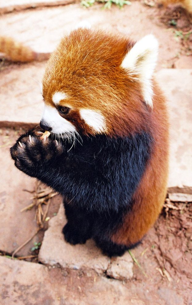 And finally. They aren't too proud to beg.  Please please please vote for the Red Panda. Look how much he wants to win!