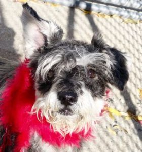 TO BE DESTROYED 11/15/16 **ON PUBLIC LIST** A volunteer writes: Chula is a cute little Schnauzer with one ear up and one ear down, left with us as her long time owner had no time for her pet anymore. Chula is a bit chunky and has had her share of litters over the years. Her coat is lush but covers a skin that needs care(that we started here at the care center). Her chesnut eyes sparkle and her spongy little black nose shines in the sun. She is a friendly gal who walks very nicely on the…