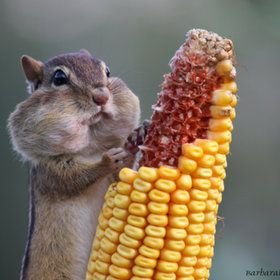Chipmunk Stuffing