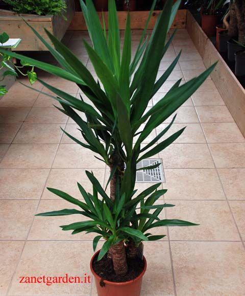 yucca 2 piante h15 e h60cm