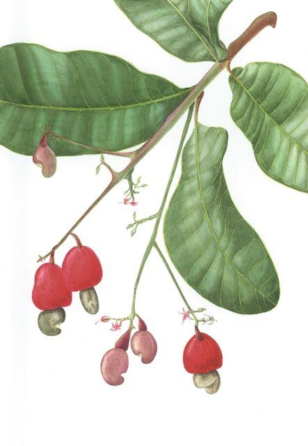 Botânica   NICBIO - Núcleo de Ilustração Científica