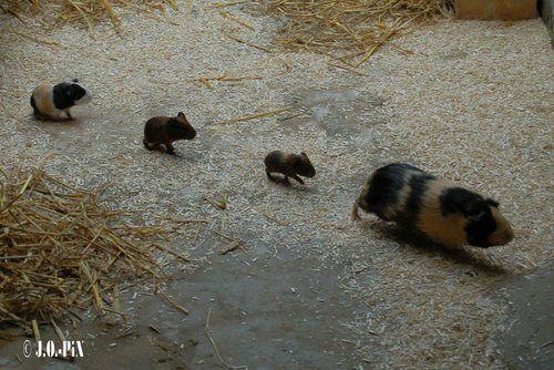 how to call guinea pigs names