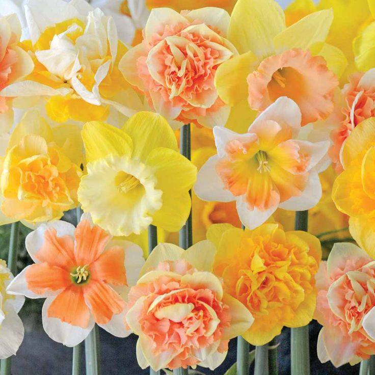 Narcissus 'Citrus Sorbet' - Daffodil Bulbs - Thompson & Morgan