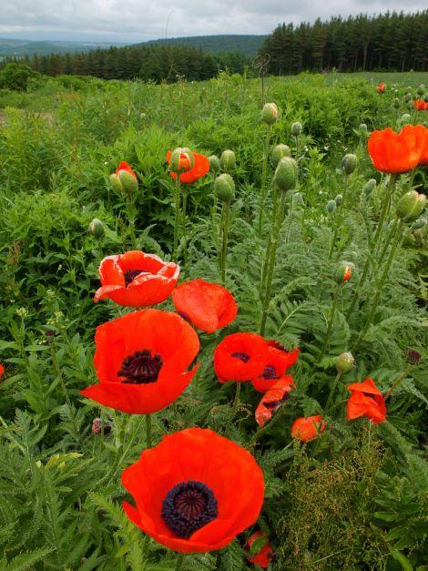 Poppies--Furano, Hokkaido