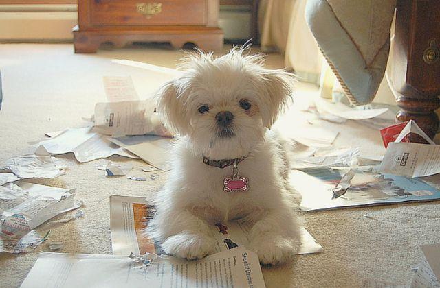 Tu mascota puede estar sufriendo de ansiedad por separación, lo mejor será que lo ayudes a superarla.Llegar del trabajo cansada y que tu perro te reciba con exceso de saltos y ladridos. Que a medida que te adentras en tu casa descubres que tu hijo perro destruyó revistas, muebles y hasta tu par de zapatos favorito.