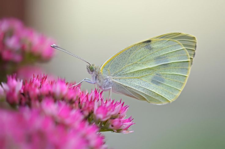 Andrew Cooper - On and Off! posted a photo:  A Large White butterfly resting on a cheery Sedum spectabile among the gloom last Autumn.