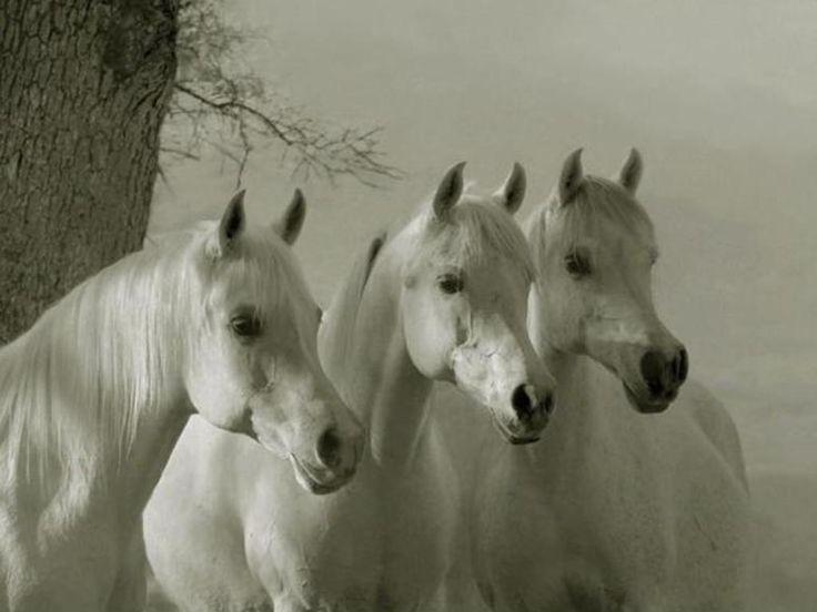 Arabian horse wallpaper desktop equine arabian pinterest arabian horses white horses - Arabian horse pics ...