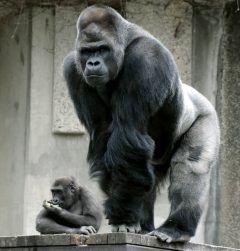 売れっ子俳優並みに人気者で名古屋市の東山動植物園で飼育されているイケメンゴリラのシャバーニ そのシャバーニが東山動植物園の人気投票でゾウとコアラに惜敗しました やはり女性からは人気でしたが子どもからの票をのばせなかったようですね(;) tags[愛知県]