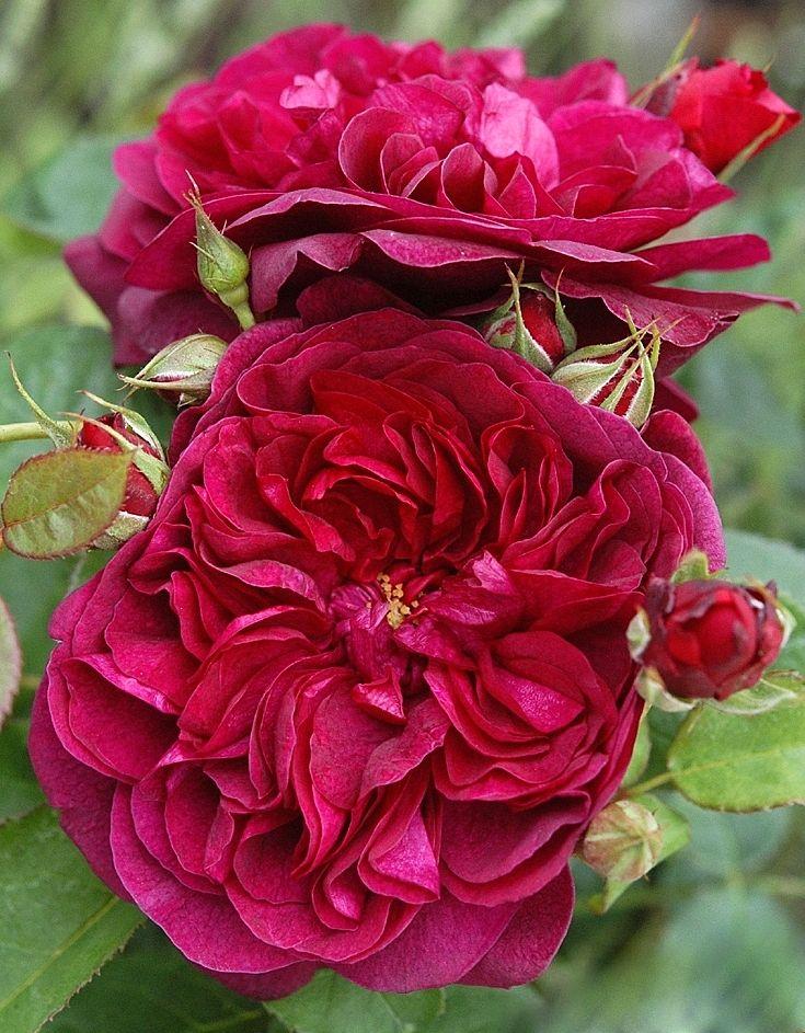 'Darcey Bussell' * - Austin ( 2005) - AGM 2012. Dubbele, rozetvormige, donkerrode bloemen, die later een meer paarse tint krijgen. Fruitige geur. Goed doorbloei. Zeer gezond. Verdraagt ook droge hitte. 90cm x 60cm.
