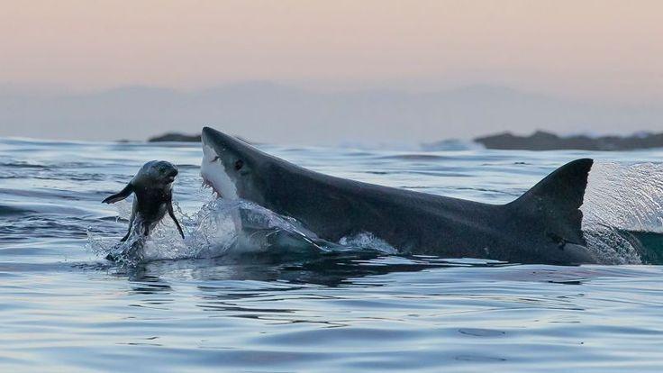 Dès que la nuit commence à tomber sur les eaux sombres de False Bay, en Afrique du Sud, les grands ...
