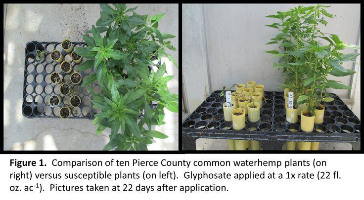 Amaranthus | Wisconsin Crop Weed Science