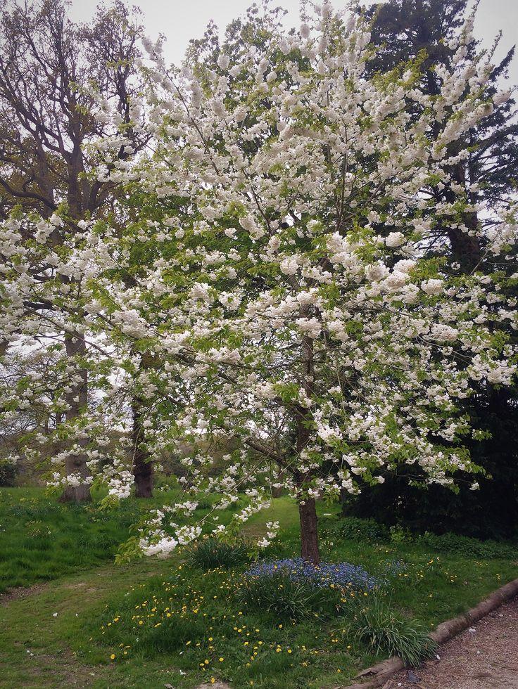 Our Prunus avium 'Plena' at Bryngwyn Hall