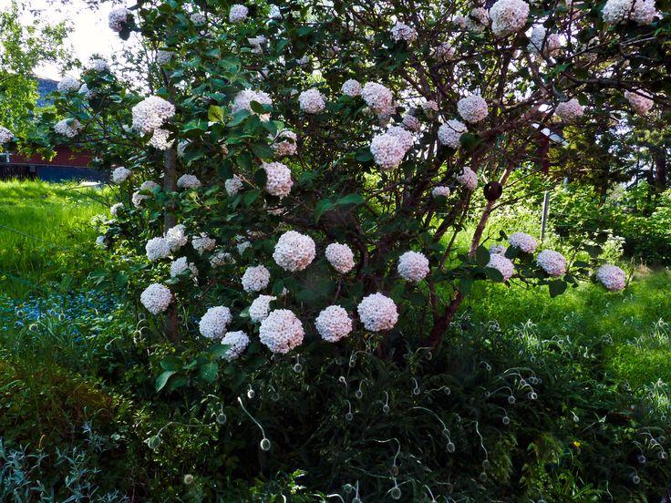 Viburnum carlcephalum, Bollolvon  Bollolvon  doftar godare än syren och blommorna påminner om  porslinsblomma. Den här busken växer på Kungsberg i vår trädgård. Ni  kan bes...