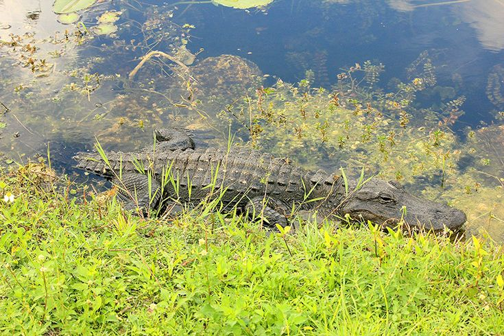 Besök spektakulära Everglades