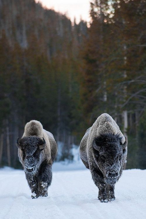 wolverxne:  Bison, Yellowstone National Park  by: R.J. Payne