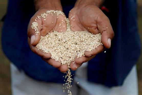 Pure sesame seed straight from the field!