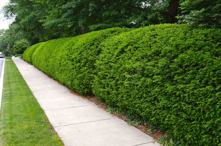 Beautifully Trimmed Natural Shrub Fence Fantastic Fences
