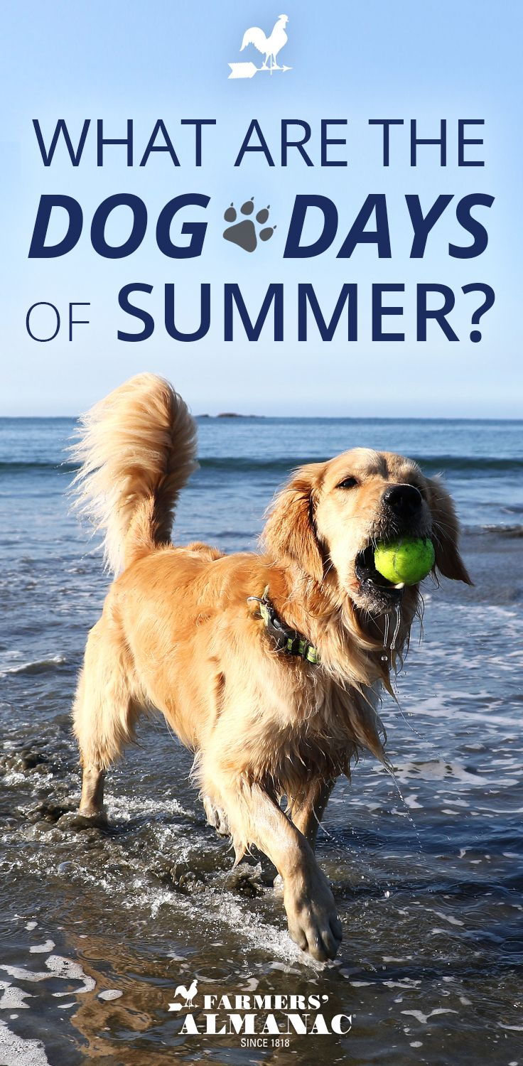 Why Are They Called The Dog Days Of Summer Dogs Dog Days