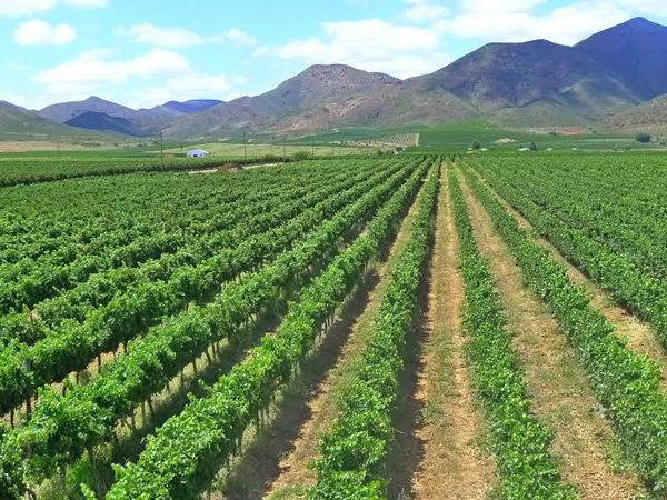 Harvest of Quiet Quality after Early Summer Storms on De Wetshof Estate