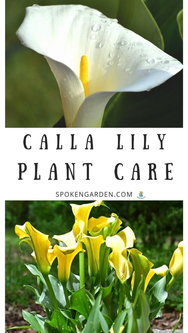 Care For The Calla Lilies In Your Landscape With Our Quick Care