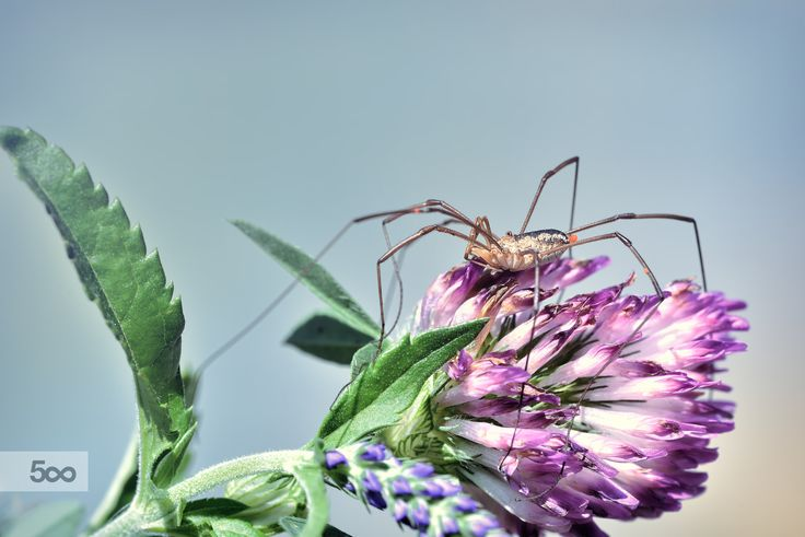 Opiliones on a flower by Marcello Machelli on 500px