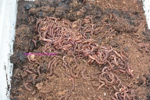 Raising Red Worms As A Chicken Treat | Backyard Poultry Magazine