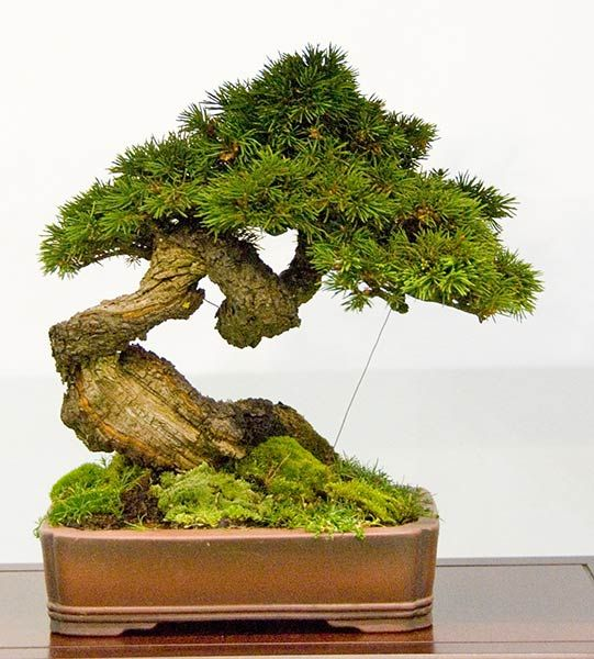image detail for atlanta georgia bonsai trees for sale japanese ga juniper bought bonsai tree