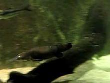 Ficheiro:Ornithorhynchus anatinus -Sydney Aquarium, Sydney, Australia…