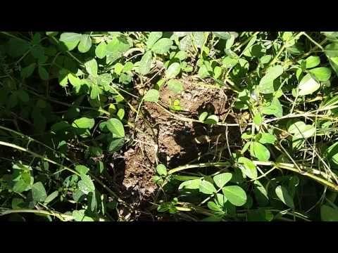 Yer fıstığı Nasıl Yetişir, Nasıl Ekilir - Dikilir, Yer Fıstığı Oluşumu, Yer Fıstığı Üretimi - YouTube