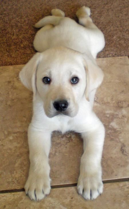 Labrador Retriever puppy. This is how our dog used to look, except he has a pink nose and is now 102 lbs!