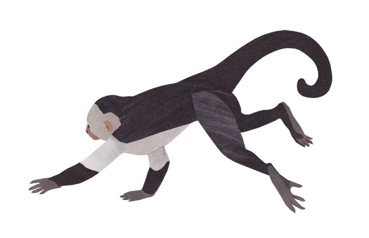 how to draw a capuchin monkey