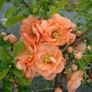 Chaenomeles Superba Cameo (Dwarf Flowering Quince)