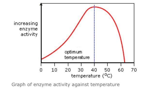 understanding the effect of temperature on the enzyme amylase activity Optimal temperature for enzyme amylase biology essay print reference this published the effect of temperature and the ability of amylase to break down starch to maltose was the results obtained show the optimal temperature and how each temperature affected amylase activity introduction.