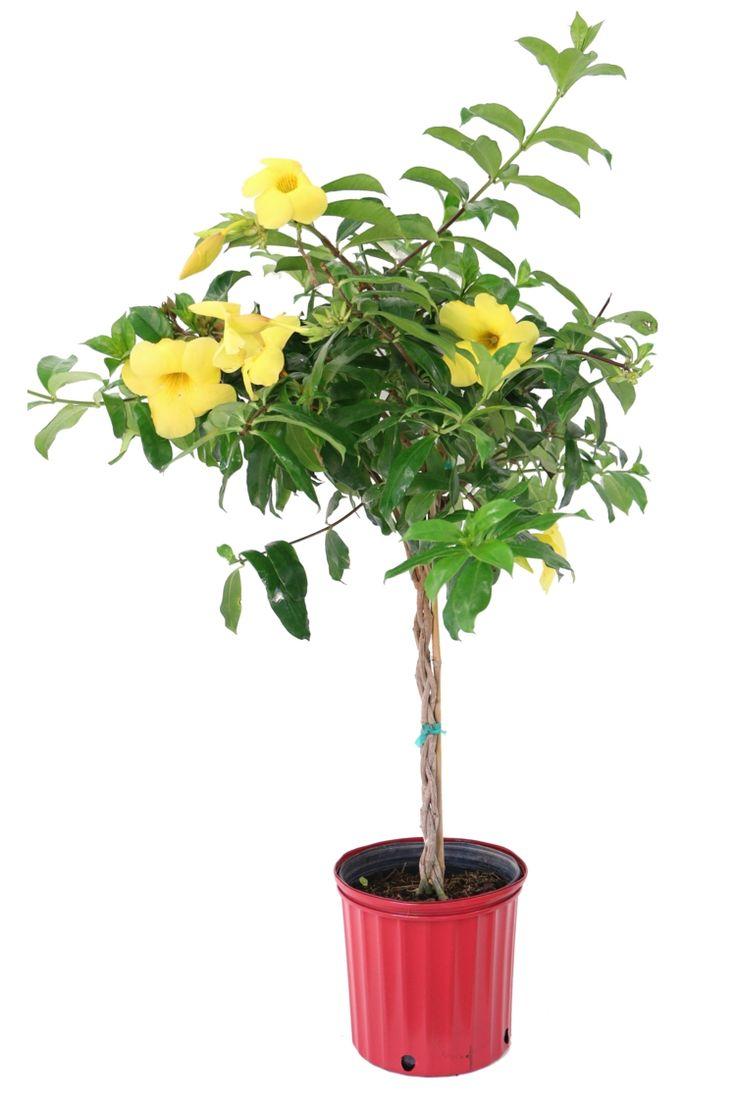 exotische wohnzimmer zimmerpflanzen goldtrompete baum gelb blumentopf - Zimmerpflanzen Warme Wohnzimmer