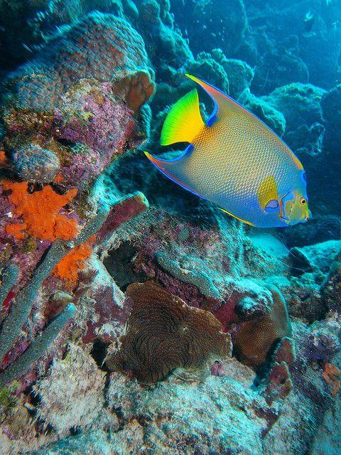 Queen #Angelfish (Holacanthus ciliaris) / #Bonaire