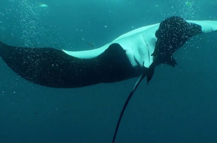 Grateful: A giant manta ray performed a series of barrel rolls as if to say thank you to a...