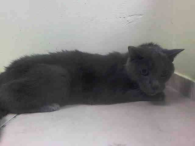 NYACC ** URGENT** PRECIOUS SENIOR ALERT** TO BE DESTROYED 7/22/14 Brooklyn Center  My name is SMOKEY. My Animal ID # is A1006984. I am a neutered male gray russian blue mix. The shelter thinks I am about 10 YEARS old.  https://m.facebook.com/photo.php?fbid=834321786579655&id=155925874419253&set=a.576546742357162.1073741827.155925874419253&source=43