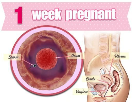 How Is Baby in 1st Week of Pregnancy?