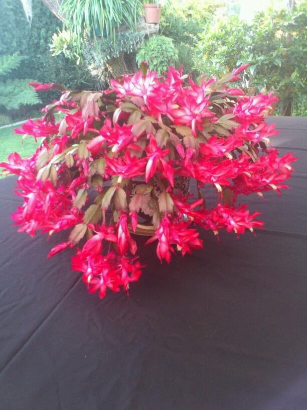 48 Best Images About Zygo Cactus On Pinterest Plants