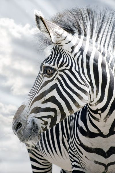 Zebra ~ too adorable not to pin
