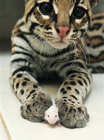 Baby ocelot playing with a little mouse. Beautiful!