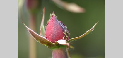 Home Remedy for Aphids Spray for Roses | eHow