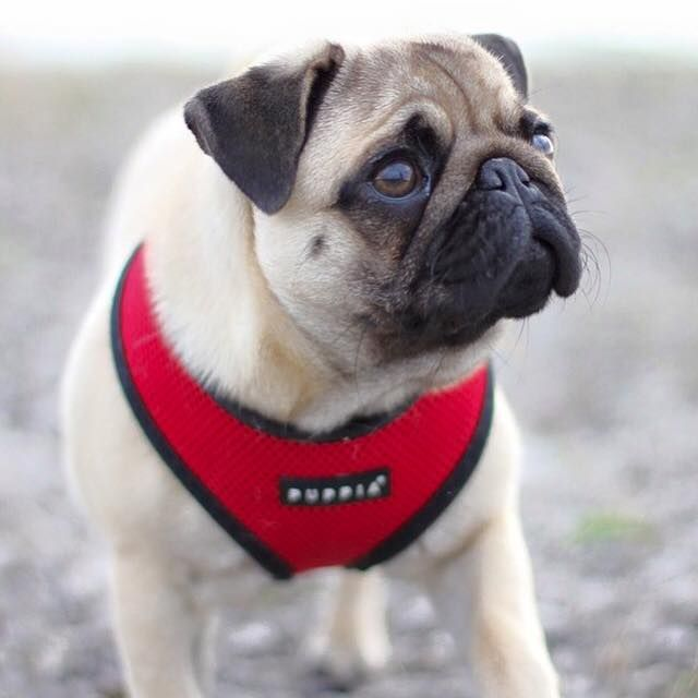 Red Puppia Soft Harness Available At Www Ilovepugs Co Uk Sizes S