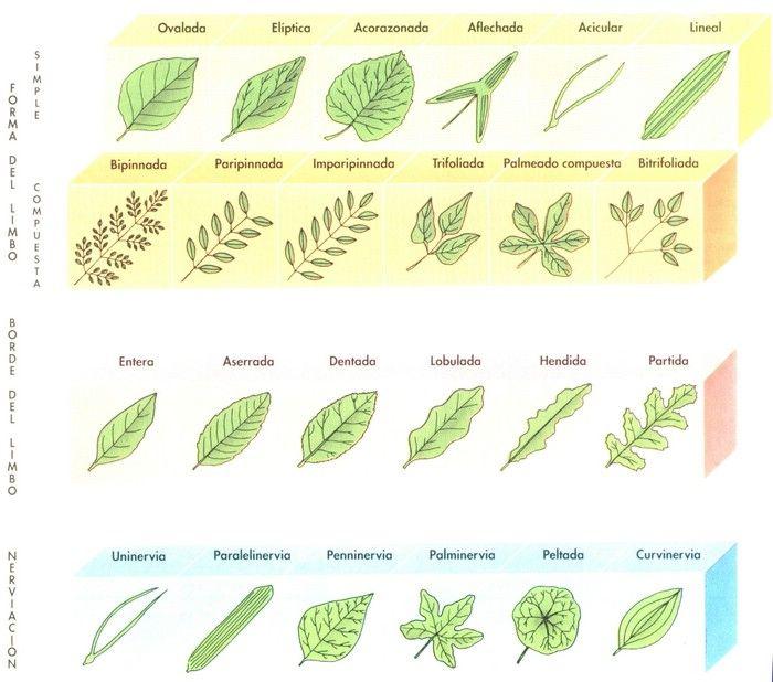 clasificación de hojas